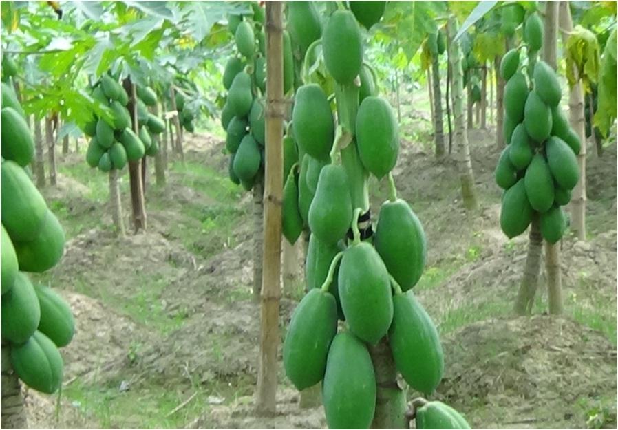 BU-Papaya-1