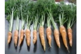 BU-Carrot-1